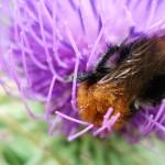 Земна пчела на бодил. Много много хубави цветове!