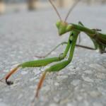 Богомолка на терасата ми у дома. Някои хора мислят, че те се хранят с растения, но всъщност са хладнокръвни хищници.