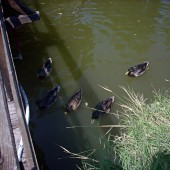 Истински патици. Търсихме да им купим поне солети, но нямаше от къде :)